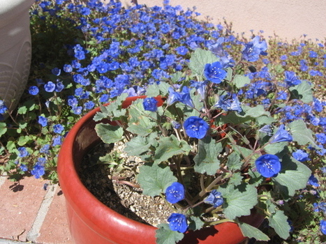 GV Gardeners: Growing a blue bouquet in your garden | Green Valley (AZ) News and Sun | CALS in the News | Scoop.it