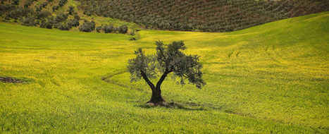 Deoleo prevé una producción histórica de aceite de oliva - Noticias.com | Gestión administrativa y financiera del comercio internacional | Scoop.it