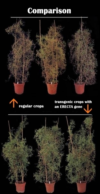Chinese Scientists Created Transgenic Crops that Resist Heat While Increase Yields - | Plant Genetics, NGS and Bioinformatics | Scoop.it
