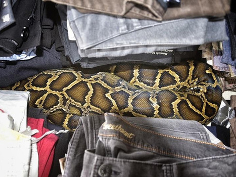 Burmese python found hiding in flea market | LibertyE Global Renaissance | Scoop.it
