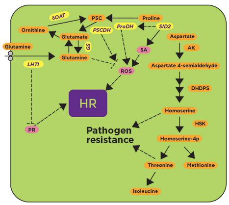 Regulation of primary plant metabolism during plant-pathogen interactions and its contribution to plant defense   Plant not-host resistance & basal defense   Scoop.it