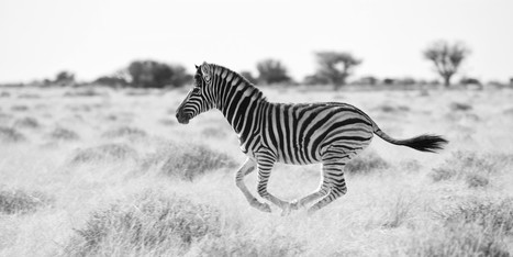 Zebras and oxpeckers: Why resident physicians and social media need each other | Health Care Social Media And Digital Health | Scoop.it
