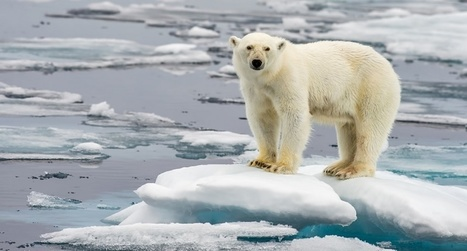 Climate change a bigger threat to polar bears than trophy hunting | All about water, the oceans, environmental issues | Scoop.it