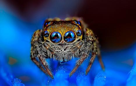 Macrophotographies d'araignées qui regardent fixement l'objectif | MARTINEZ André | Scoop.it