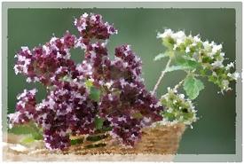 Aceite Esencial de MEJORANA DE JARDIN (Origanum Majorana ...   Mejorana (Origanum majorana).   Scoop.it
