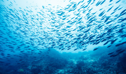 Vegan Diet for Farmed Fish Could Prevent Collapse of Fisheries | Aquaculture Directory | Scoop.it