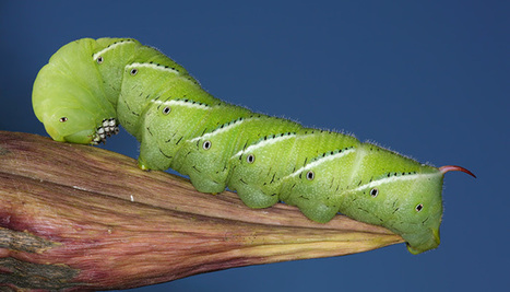 Researchers sequence genome of sphinx moth (Manduca sexta) | Amazing Science | Scoop.it