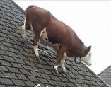 Cow Climbs on Roof | Life as a cow | Scoop.it