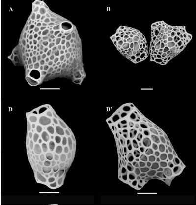 Towards an Integrative Morpho-molecular Classification of the Collodaria (Polycystinea, Radiolaria) | Protist evolution and biology | Scoop.it