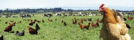 "People love chickens that are ""vegetarian fed."" Here's why that's bad for the birds. 