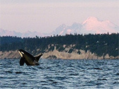 Orcas Struggle For Survival Against Big Ag | Honor the Orcas, Dive in! | Scoop.it