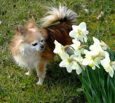 Le Chihuahua : amour ô amour | Animal de compagnie | Chien, Chihuahua & Co | Scoop.it