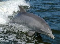 Le Grand dauphin de la Manche est tout pollué - Journal de l'environnement | Zones humides - Ramsar - Océans | Scoop.it