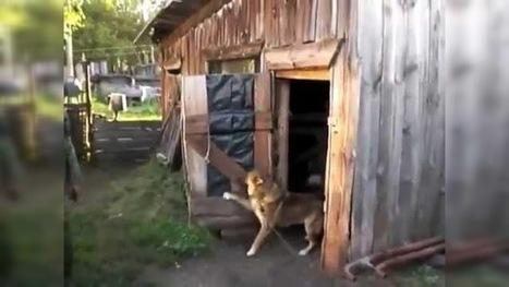 Un perro se esconde en una caseta y cierra la puerta para evitar que lo bañen | Curiosidades | Scoop.it