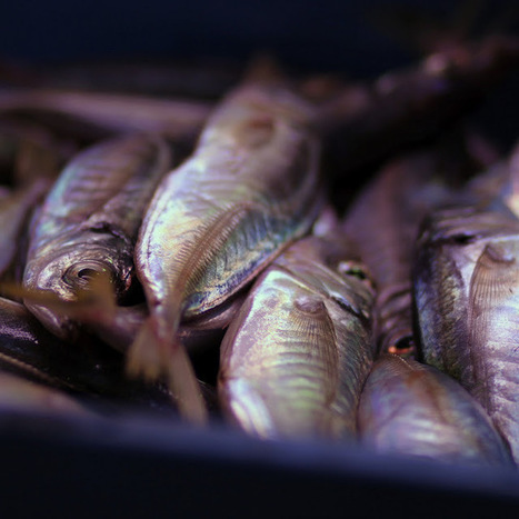 The Aquaculturists: 21/07/2015: Latest EU fish stock data reveal significant progress in northern waters, more effort needed in Mediterranean   Global Aquaculture News & Events   Scoop.it