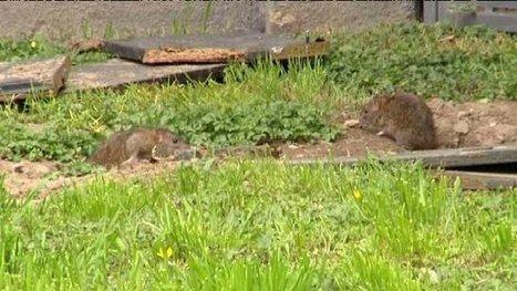 Des rats envahissent l'aire de grand passage de Lescar - France 3 Aquitaine | Gens du voyage -roms-revue de presse | Scoop.it