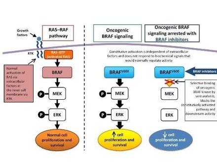 Targeting B-Raf kinase in melanomas | Amazing Science | Scoop.it