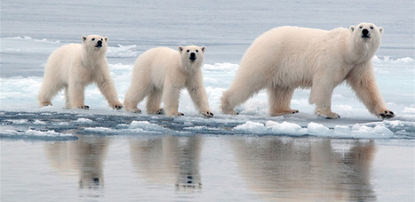 Polar bear genome gives new insight into adaptations to high-fat diet | Virology and Bioinformatics from Virology.ca | Scoop.it