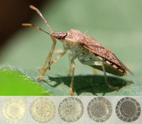 Female stink bugs 'select' the color of their eggs | Amazing Science | Scoop.it