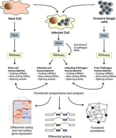 Transcriptomic Crosstalk between Fungal Invasive Pathogens and Their Host Cells: Opportunities and Challenges for Next-Generation Sequencing Methods | Plant Genomics | Scoop.it