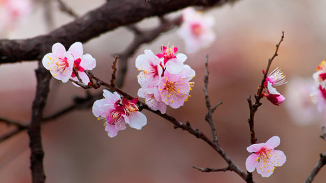 After trip to space, cherry trees mysteriously blossom years ahead of schedule   postharvest central   Scoop.it