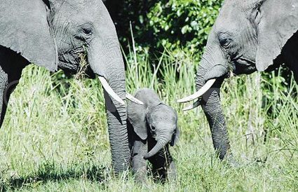 Uganda: Wildlife Authority wants 20 years for poachers | Wildlife Trafficking: Who Does it? Allows it? | Scoop.it