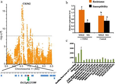 Genome-wide association study of blast resistance in indica rice   Plant Genomics   Scoop.it