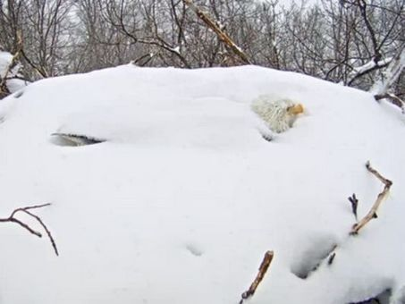 Talk about parenting – Bald Eagle protects eggs from mounting snow | animals and prosocial capacities | Scoop.it