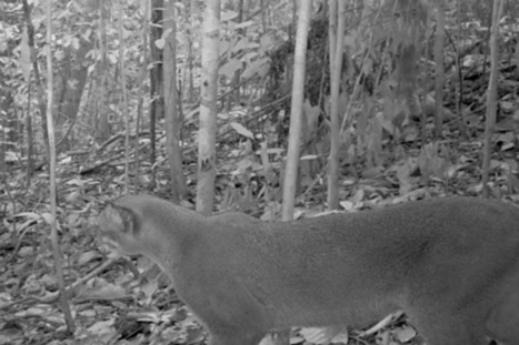 World's most cryptic feline photographed in logging concession | Agua | Scoop.it