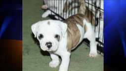 6 Puppies Bred to Help the Hearing Impared Stolen in Highland ... | Hearing,hearing aids | Scoop.it