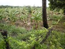 .: La agricultura de Villa Jaragua sufrió pérdidas estimas en RD ...   Fp Agraria   Scoop.it