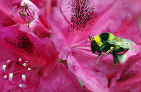 Buzz Kill For Bumblebees: Climate Change Is Shrinking Their Range | Climate change challenges | Scoop.it