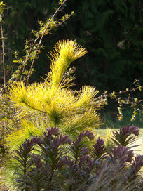 Great Design Plant:  Louie Eastern White Pine | Natural Soil Nutrients | Scoop.it