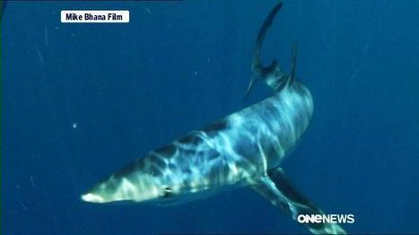 #Sharkfinning to be outlawed in #NZ ~ a wave better for species* | Rescue our Ocean's & it's species from Man's Pollution! | Scoop.it