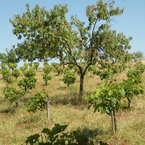 En Gascogne, pousse le raisin de Palestine   Terroir   Scoop.it