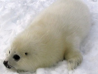 Will Russia's Ban on Harp Seal Skins End Canada's Annual Mass Clubbings? | Dolphins | Scoop.it