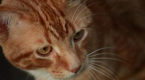 Le maire de Talkeetna en Alaska est… un chat !   Histoire de chats   Scoop.it