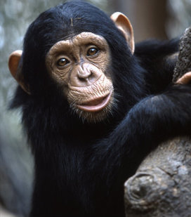 Join our coalition, ask Congress to pass the Captive Primate Safety Act | Monkeys and Apes | Scoop.it
