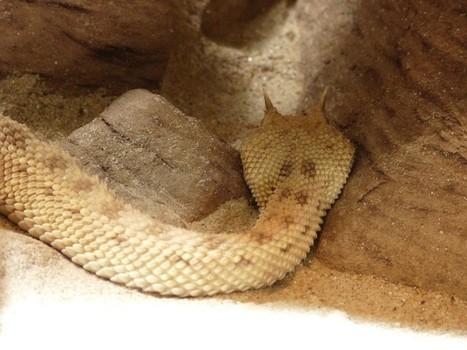 Photo de serpent : Vipère à cornes - Cerastes cerastes - Saharan horned viper - Coluber cerastes - Vipère cornue du Sahara | Fauna Free Pics - Public Domain - Photos gratuites d'animaux | Scoop.it