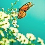 Radiation from Fukushima Caused Butterfly Mutations, Study Says | CleanTechies Blog - CleanTechies.com | promienie | Scoop.it
