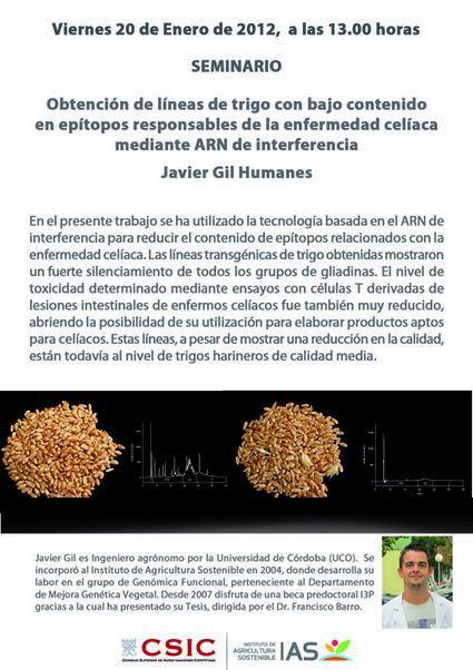 Mejora genética para producir trigo sin gluten | IAS CSIC | Mejora genetica | Scoop.it