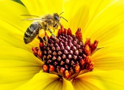 Malgré l'effet de mode, l'abeille des villes ne remplacera pas celle des champs - Magazine GoodPlanet Info | Apiculture, agriculture et environnement | Scoop.it