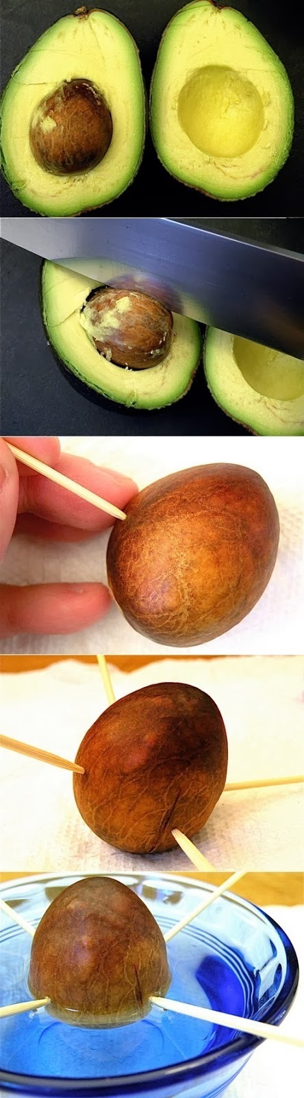 #Gardening : How to grow an avocado From pit | My Favorite Things | World In Green | Scoop.it