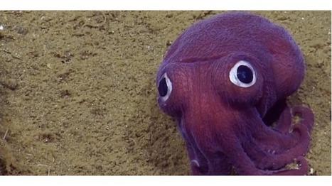 Une étrange créature est filmée à 900m de profondeur   Surprenante vie sous-marine   Scoop.it