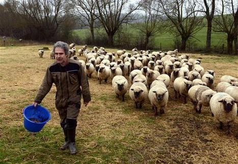 Meurthe-et-Moselle : un troupeau de moutons attaqué par un canidé - L'Est Républicain   Le retour du loup et du lynx en Belgique   Scoop.it