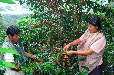 Cooperativas cafetaleras de Perú exportaron por 98 millones de dólares | Cooperativismo PERÚ | Scoop.it