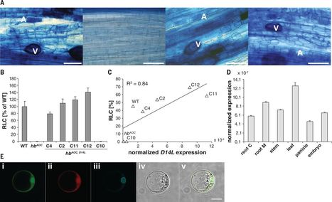 Science: Rice perception of symbiotic arbuscular mycorrhizal fungi requires the karrikin receptor complex (2015) | Plants and Microbes | Scoop.it