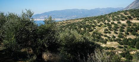 Pluris : L'huile d'olive a aussi ses grands crus   Huileolive   Scoop.it