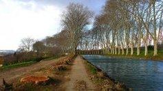 Un espoir pour les platanes malades | Histoire Canal du Midi | Scoop.it