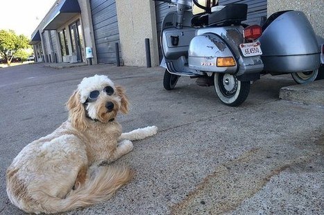 Community Post: Meet Nelson, The Vespa Riding Goldendoodle | Scooters and Vespas | Scoop.it